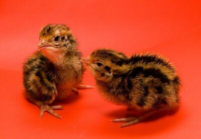 50 Jumbo Brown Pharaoh Coturnix Japanese Quail Hatching Eggs Dual Purp Meat Egg
