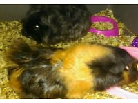Two young Female Guinea Pigs with cage