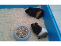 2 Guinea Pigs With Indoor Cage