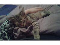 Missing/ possibly stolen kitten from Jarrom Street PLEASE HELP US :'(