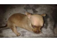 *******kc reg chihuahua puppies***** must be viewed