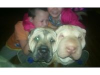 2 yr old shar pei female