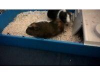2 male guinea pigs,hutch & cage
