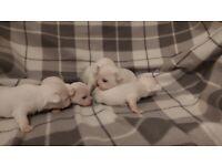 2 BEAUTIFUL WHITE CHIHUAHUAS PUPPIES