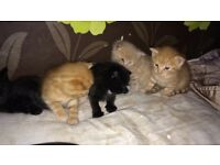 Kittens, 2 black, 2 ginger, 1 cream