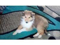 Rough collie female pup