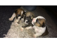 Jack Tzu Puppies for Sale