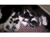 Good homes wanted for adorable black and white fluffy kittens