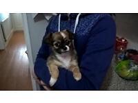 Chihuahua X puppy