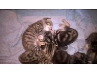 Stunning pure Bengal kittens REDUCED