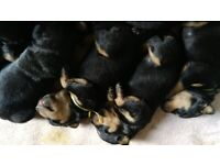 Amazing purebred Rottweiler puppies