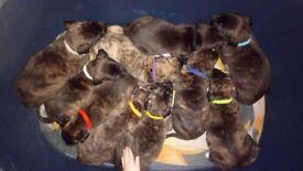 Lurcher x pups for sale