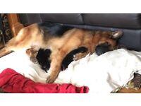 German shepherd pups ( not ready yet)