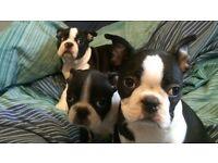 Boston puppies