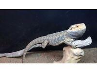 Leatherback Bearded Dragon & Full Vivarium Setup