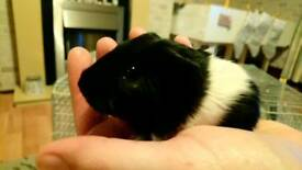 Baby Guineapigs available soon