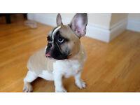 French bulldog puppy boy