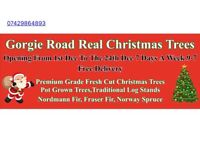 real christmas trees Premium grade quality