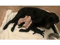 Labrador retriever KC puppies