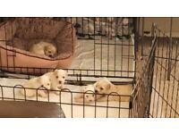 Bichon Maltese - 5 Puppies