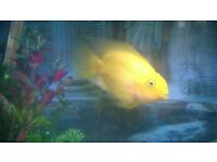 yellow parrot fish