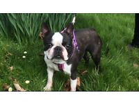 Beautiful Boston terrier girl