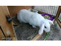 French lop doe for sale
