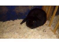 Lion lop eard rabbits for sale