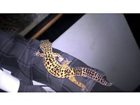 leopard gecko 2yrs old with tank and accessories