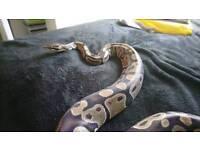 Adult royal/ball python and setup
