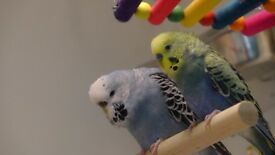 a pair of beautiful budgies for sale!