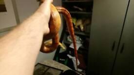Caroline corn snake