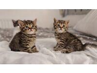 Persian cross kittens for sale
