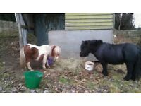 Ponies for Loan