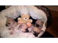 Chihuahua Puppies 2 boys left. 8 weeks old. Ready for new forever homes