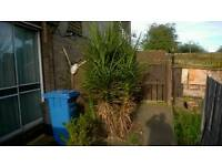 Huge Cordyline plant (several plants in one