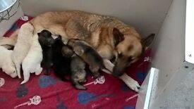 German Shepherd kc reg puppies