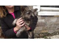KC REG CAIRN TERRIER FEMALE PUPS, FULLY VACCINATED