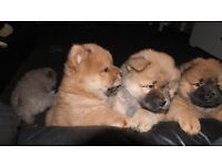 chow chow pups 2 males ready for loving homes