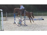 13.2hh family all rounder