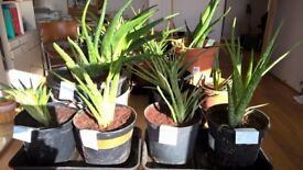 Large Healthy Vigorous Growing Aloe Vera House Plants, Purify Air, Powerful Medicinal Uses of Leaf