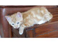 Kittens for Sale - One Ginger & One Ginger,Black & White