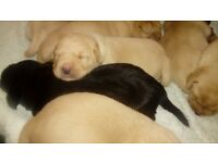 Fox Red and Black Labrador Puppies for Sale