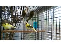 This years Young canaries, different varieties, perfect health.