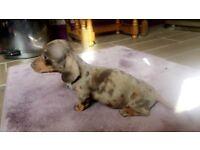 Kc reg/Pra clear miniature dachshunds, chocolate dapple boy and chocolate and tan girl