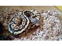 Pastel yellow belly F