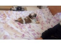 Gorgeous shih tzu puppy for sale