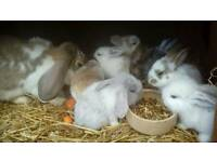 Baby lopped ear rabbits for sale