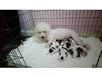 Zurchons puppy's