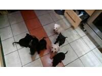 Labrador cross puppies